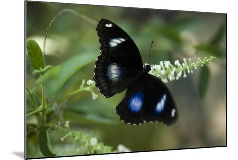A Great Egg-Fly Butterfly, Hypolimnas Bolina, in the Butterfly Garden-Joel Sartore-Mounted Photographic Print