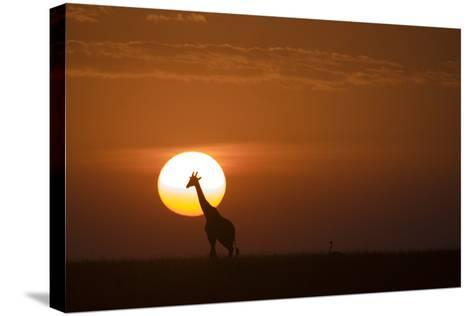 Silhouettes of a Giraffe and an Ostrich Walking across Grasslands at Sunset-Beverly Joubert-Stretched Canvas Print