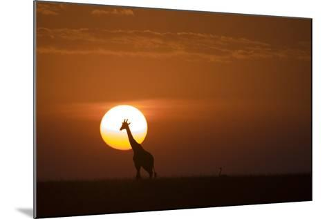Silhouettes of a Giraffe and an Ostrich Walking across Grasslands at Sunset-Beverly Joubert-Mounted Photographic Print