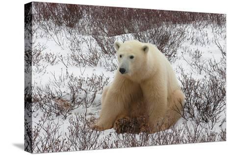 A Polar Bear, Ursus Maritimus-Kike Calvo-Stretched Canvas Print