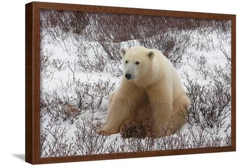 A Polar Bear, Ursus Maritimus-Kike Calvo-Framed Art Print
