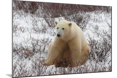 A Polar Bear, Ursus Maritimus-Kike Calvo-Mounted Photographic Print