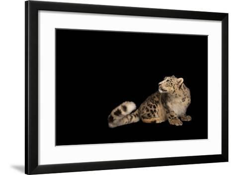 An Endangered Snow Leopard, Panthera Uncia, at the Miller Park Zoo-Joel Sartore-Framed Art Print