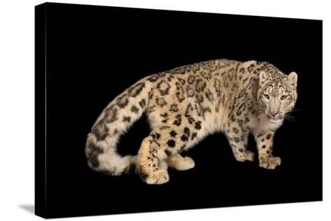 An Endangered Snow Leopard, Panthera Uncia, at the Miller Park Zoo-Joel Sartore-Stretched Canvas Print