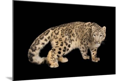 An Endangered Snow Leopard, Panthera Uncia, at the Miller Park Zoo-Joel Sartore-Mounted Photographic Print