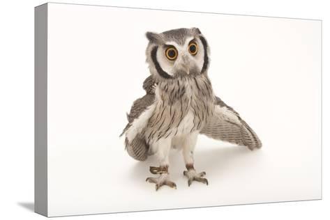 A Northern White-Faced Owl, Ptilopsis Leucotis, at the Cincinnati Zoo-Joel Sartore-Stretched Canvas Print