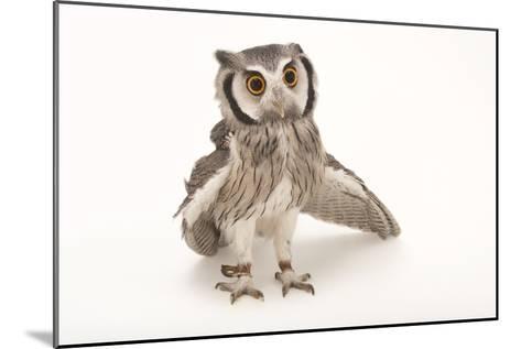 A Northern White-Faced Owl, Ptilopsis Leucotis, at the Cincinnati Zoo-Joel Sartore-Mounted Photographic Print