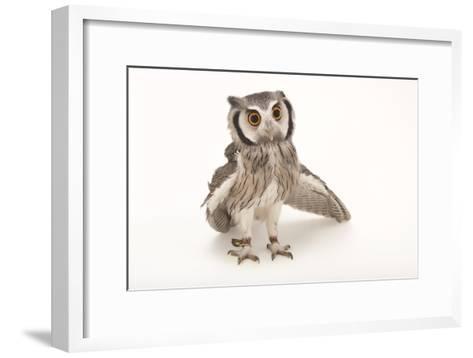 A Northern White-Faced Owl, Ptilopsis Leucotis, at the Cincinnati Zoo-Joel Sartore-Framed Art Print