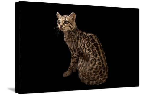 A Federally Endangered Margay, Leopardus Wiedii, at the Cincinnati Zoo-Joel Sartore-Stretched Canvas Print