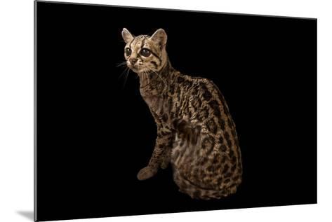 A Federally Endangered Margay, Leopardus Wiedii, at the Cincinnati Zoo-Joel Sartore-Mounted Photographic Print