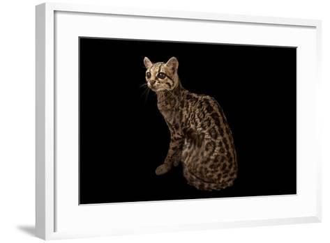 A Federally Endangered Margay, Leopardus Wiedii, at the Cincinnati Zoo-Joel Sartore-Framed Art Print