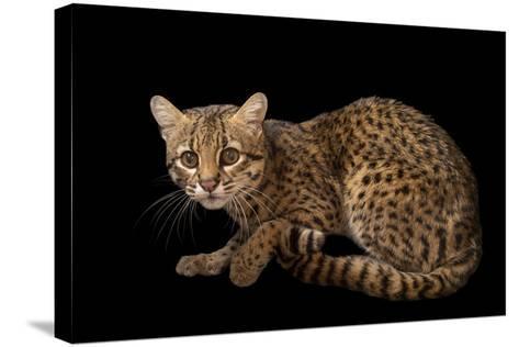 A Geoffroy's Cat, Leopardus Geoffroyi, at the Cincinnati Zoo-Joel Sartore-Stretched Canvas Print