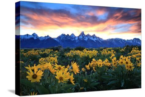 Alpine Sunflowers Illuminated by a Glowing Sunset over Snow-Capped Mountains-Robbie George-Stretched Canvas Print