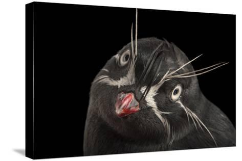 A Whiskered Auklet, Aethia Pygmaea, at the Cincinnati Zoo-Joel Sartore-Stretched Canvas Print