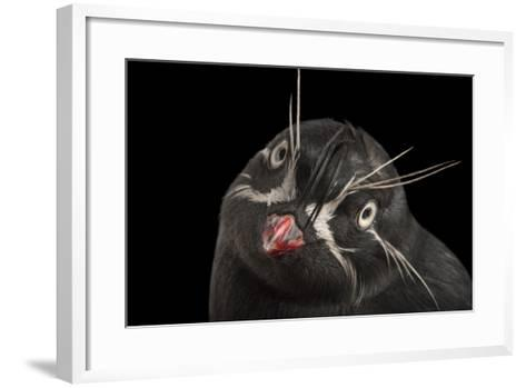 A Whiskered Auklet, Aethia Pygmaea, at the Cincinnati Zoo-Joel Sartore-Framed Art Print