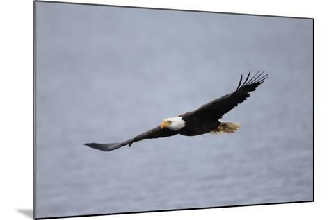 A Bald Eagle, Haliaeetus Leucocephalus, in Flight over Water-Robbie George-Mounted Photographic Print