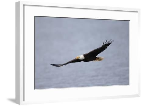 A Bald Eagle, Haliaeetus Leucocephalus, in Flight over Water-Robbie George-Framed Art Print