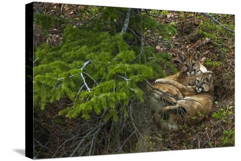 Young Cougars Rest under a Pine Tree in Wyoming's Bridger Teton National Forest-Steve Winter-Stretched Canvas Print