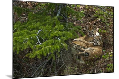 Young Cougars Rest under a Pine Tree in Wyoming's Bridger Teton National Forest-Steve Winter-Mounted Photographic Print