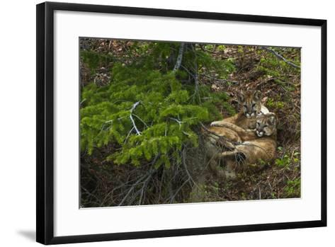 Young Cougars Rest under a Pine Tree in Wyoming's Bridger Teton National Forest-Steve Winter-Framed Art Print