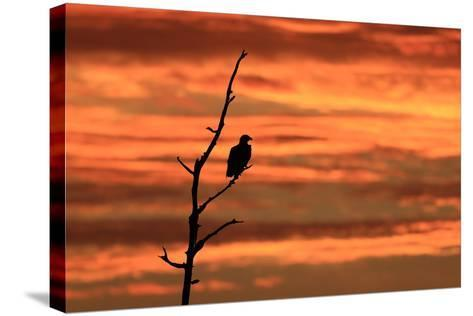 A Bald Eagle, Haliaeetus Leucocephalus, Perched in a Tree at Sunrise-Robbie George-Stretched Canvas Print
