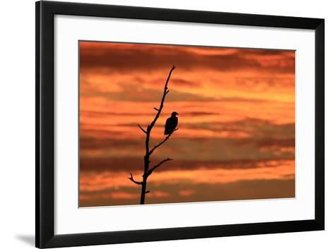 A Bald Eagle, Haliaeetus Leucocephalus, Perched in a Tree at Sunrise-Robbie George-Framed Art Print