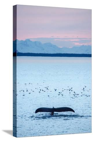 A Humpback Whale, Megaptera Novaeangliae, Diving Near a Flock of Birds at Sunset-Jonathan Kingston-Stretched Canvas Print