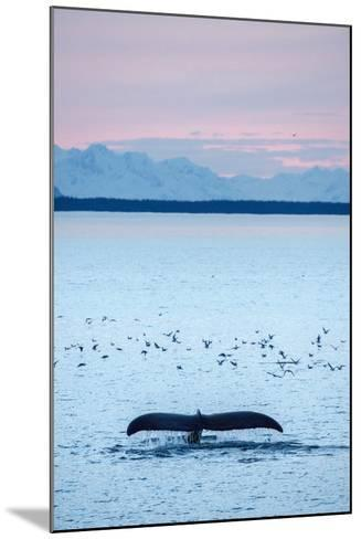 A Humpback Whale, Megaptera Novaeangliae, Diving Near a Flock of Birds at Sunset-Jonathan Kingston-Mounted Photographic Print