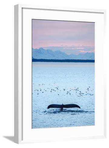 A Humpback Whale, Megaptera Novaeangliae, Diving Near a Flock of Birds at Sunset-Jonathan Kingston-Framed Art Print