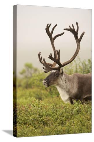Close Up Portrait of a Male Caribou, Rangifer Tarandus-Bob Smith-Stretched Canvas Print