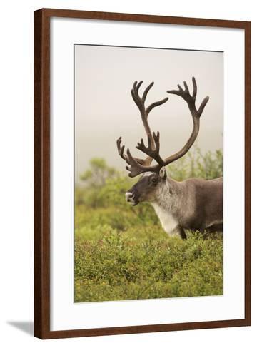 Close Up Portrait of a Male Caribou, Rangifer Tarandus-Bob Smith-Framed Art Print