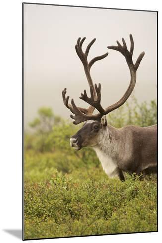 Close Up Portrait of a Male Caribou, Rangifer Tarandus-Bob Smith-Mounted Photographic Print
