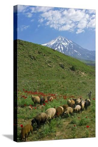 A Shepherd and His Sheep on the Hills Near Mount Damavand, a Sacred Mountain in Persian Culture-Babak Tafreshi-Stretched Canvas Print