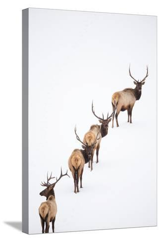 A Group of Elk Cross an Ice and Snow-Covered Lake in a Totally White Landscape-Robbie George-Stretched Canvas Print