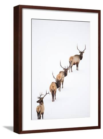 A Group of Elk Cross an Ice and Snow-Covered Lake in a Totally White Landscape-Robbie George-Framed Art Print