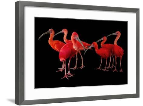 A Flock of Scarlet Ibis, Eudocimus Ruber, at the Caldwell Zoo-Joel Sartore-Framed Art Print