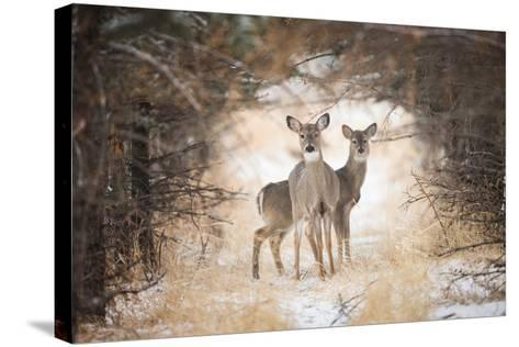 Two White-Tailed Deer, Odocoileus Virginianus, in a Snowy Clearing-Robbie George-Stretched Canvas Print