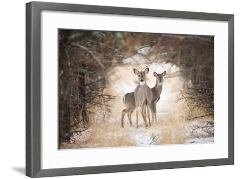 Two White-Tailed Deer, Odocoileus Virginianus, in a Snowy Clearing-Robbie George-Framed Art Print
