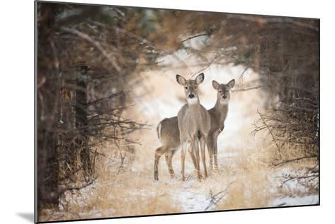 Two White-Tailed Deer, Odocoileus Virginianus, in a Snowy Clearing-Robbie George-Mounted Photographic Print