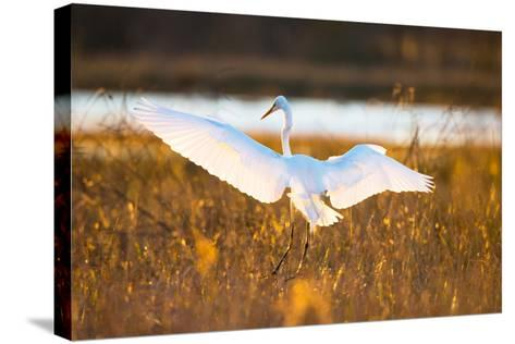 Portrait of a Great Egret, Ardea Alba, Landing in a Marsh-Robbie George-Stretched Canvas Print