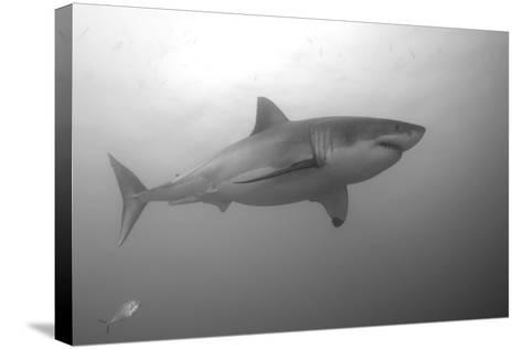 Portrait of a Male Great White Shark, Carcharodon Carcharias, Swimming-Jeff Wildermuth-Stretched Canvas Print