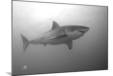 Portrait of a Male Great White Shark, Carcharodon Carcharias, Swimming-Jeff Wildermuth-Mounted Photographic Print