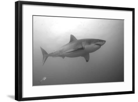 Portrait of a Male Great White Shark, Carcharodon Carcharias, Swimming-Jeff Wildermuth-Framed Art Print