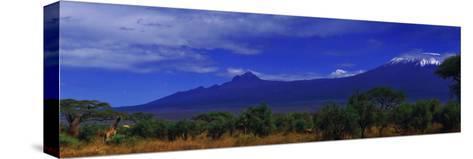 Giraffes and Acacia Trees with a Moonlit Backdrop of Mount Kilimanjaro, Kibo and Mawenzi Peaks-Babak Tafreshi-Stretched Canvas Print