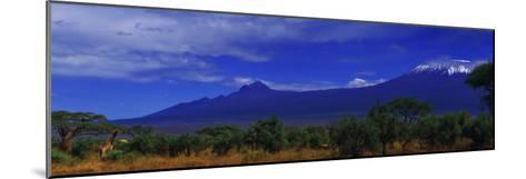 Giraffes and Acacia Trees with a Moonlit Backdrop of Mount Kilimanjaro, Kibo and Mawenzi Peaks-Babak Tafreshi-Mounted Photographic Print
