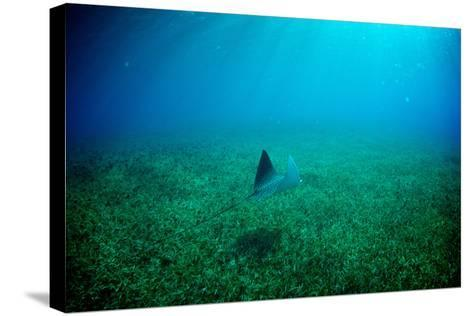 A Spotted Eagle Ray, Aetobatus Narinari, Swimming over a Bed of Eel Grass-Heather Perry-Stretched Canvas Print