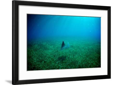A Spotted Eagle Ray, Aetobatus Narinari, Swimming over a Bed of Eel Grass-Heather Perry-Framed Art Print