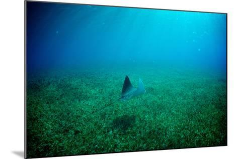 A Spotted Eagle Ray, Aetobatus Narinari, Swimming over a Bed of Eel Grass-Heather Perry-Mounted Photographic Print