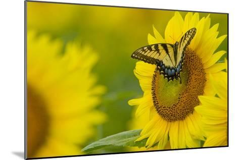 Portrait of an Eastern Tiger Swallowtail, Papilio Glaucus, on a Sunflower-Paul Sutherland-Mounted Photographic Print
