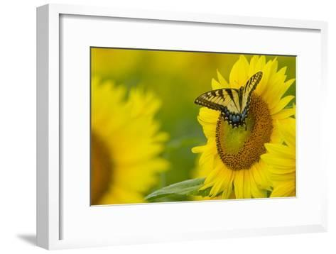 Portrait of an Eastern Tiger Swallowtail, Papilio Glaucus, on a Sunflower-Paul Sutherland-Framed Art Print